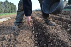 plantations de fèves pour le printemps
