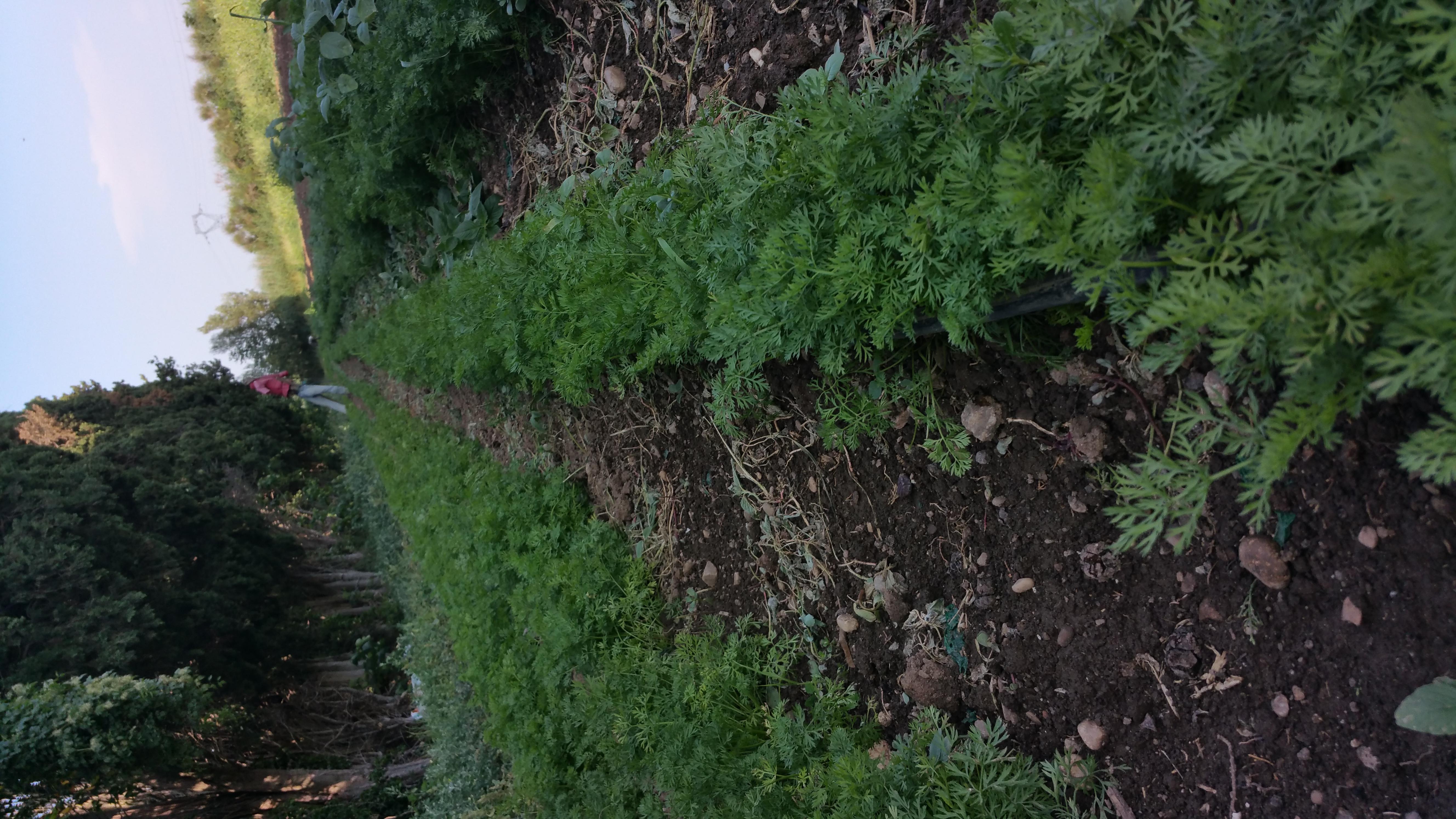 Haricot ma saison l gumes - Choux de bruxelles plantation ...